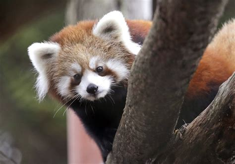 Woodland Park Zoo's twin red pandas escape, leading to 15
