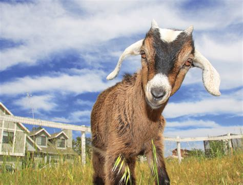 Cute Goats Wallpapers, Pictures, Images