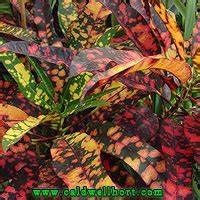 Collector Plants C to G - Caldwell Nursery