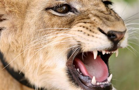 Crazy World: Lion eats man in Zambia - Emirates24|7