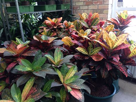 Crotons 'petra' and 'mrs iceton' | Plants